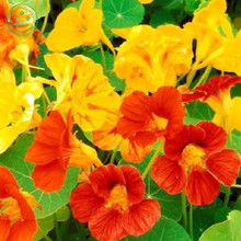 mix Tropaeolum majus seeds dry Lotus flower seeds Water Lily Pad Potted plant garden decoration plant 20pcs k25