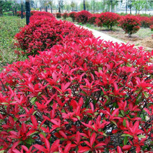 Very Popular Natural Photinia Fraseri Seeds 50pcs, Family Rosaceae Fraser Photinia Tree Seeds, Ornamental Plant Red Robin Seeds