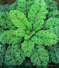 Hot Kale Seeds Vegetable 10seed(China)