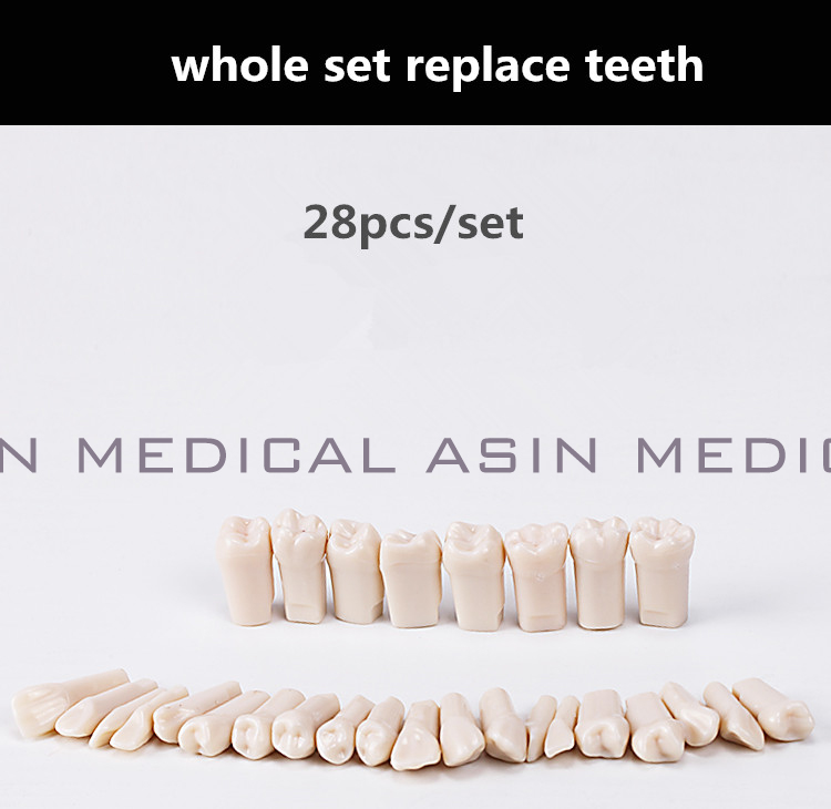 2017 new arrival teeth model replace teeth whole set 28 pcs spare teeth teaching model  learning model <br>