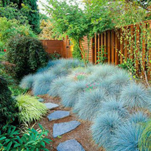 100 Blue Fescue Grass Seeds - (Festuca glauca) perennial hardy ornamental grass so easy to grow(China)