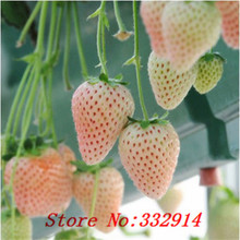 Hot Sale Free Shipping 500Giant Strawberry Seeds ---Fan Palm Strawberry seeds Real & Fresh Seeds, good taste ,Non GMO