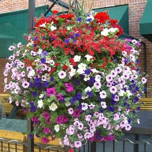 free shipping Flower seeds plant hanging petunia seeds balcony -100 seeds