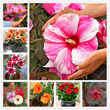 100 pcs/bag hibiscus flower seeds potted giant hibiscus seed perennial Huge 10-12 Inch Home garden plant flower seeds