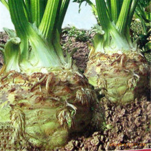 Root celery seeds - National Vegetable Engineering Research Center, the latest cultivars 200 seeds