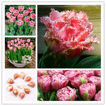 Buy True Pink Tulip Bulbs,Tulip Flower, (Not Tulip Seed),Flower Bulbs Symbolizes Love,Tulipanes Flower Plant Garden Plants-2 Bulb for $1.35 in AliExpress store