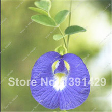 2016  New Rare Blue Butterfly Pea Flowe Free Shipping Novel Plant  Clitoria Ternatea Seeds  15PCS