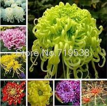 Potted Chrysanthemum seed easily family balcony flowers Chrysanthemum seedlings seasons seed 30 seeds