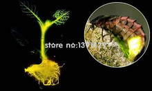 50pcs / bag light tree seeds, firefly light, rare bonsai seeds, superior novel seeds, bonsai plant