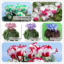 2017 New Direct Selling Small Semillas De Flores 20 Seeds/pack Bonsai Quality Cyclamen Seeds Indoor Plants Rabbit Ears To Spend