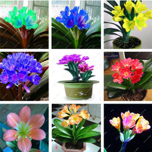 50 Cheap Clivia Seeds,Beautiful Potted Plant,Bonsai balcony flower,Gorgeous Clivia flower seeds (Kaffir Lily ) Garden Decorati
