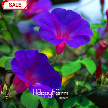 New Fresh Seeds Purple Ipomoea Nil Seeds Morning Glory seeds Flowering Plants Charming Chinese Flowers, 50 Pcs/bag,#4HRBAX