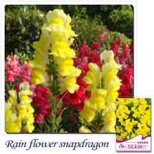 Buy 2 Get 1!(Can accumulate ) 1 Pack 60 Seed bright yellow common snapdragon seeds A182(China)
