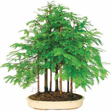 Dawn Redwood Grove -bonsai forest tree seeds Grove container  DIY Garden Metasequoia glyptostroboides - 30cm high
