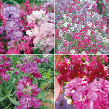 BELLFARM Matthiola Incana Violet Mixed Purple Pink Red White Bonsai Annual Flowers, 30pcs 'Seeds'/ Original Pack Mixed Stock(China)