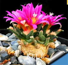 Sale!Succulents seeds Echinopsis tubiflora, cactus seeds, rare flower cactus,about 10 Seeds/Pack,#95EOO2