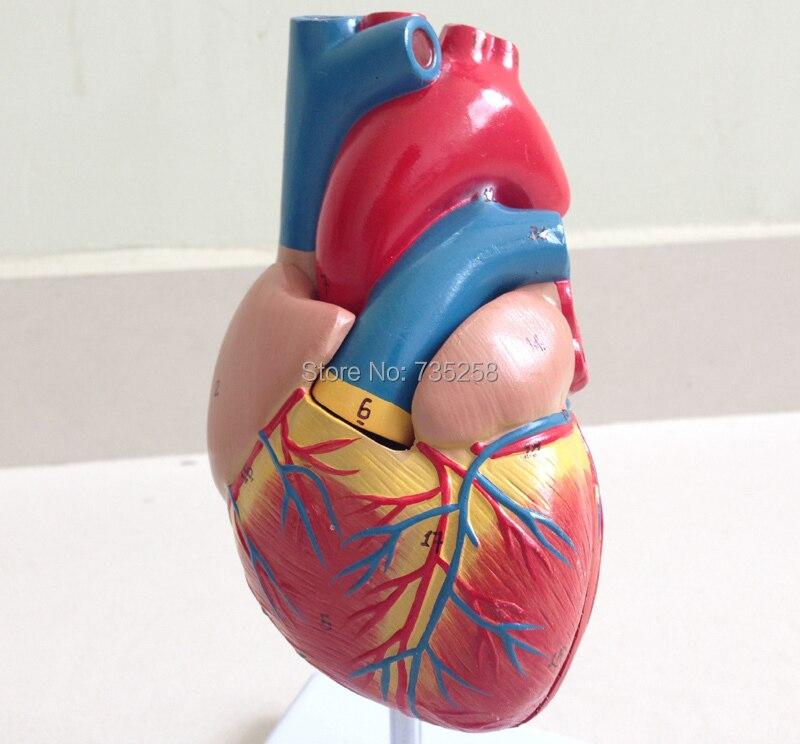 Human Heart Model,1:1 heart model,Natural big heart model<br>