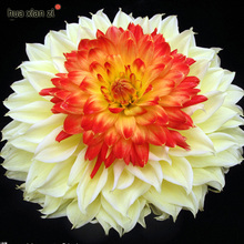 Rare Yellow Orange Dahlia Seeds Charming Chinese Flower Seeds Bonsai Plants for Garden 100 Particles / lot