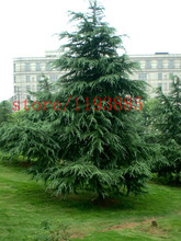 100 pcs cedar seeds chinese cheap tree pine seeds Resistance to cold, four Evergreen