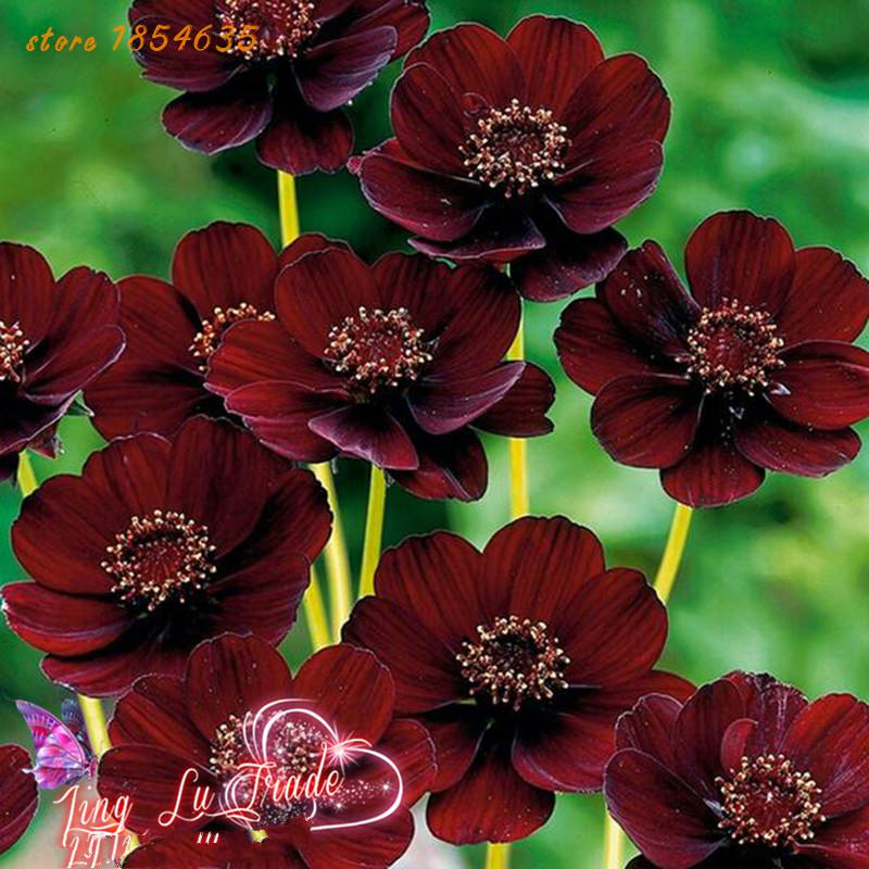 200pcs/bag Rare Chocolate Cosmos Flower Seeds-blooms All Summer Long And Has Rich Scent Like Chocolate Diy Home Garden Flower(China (Mainland))