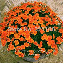 50 seeds, French marigold (marigold) Flowers seeds ,low maintance,  add bright color to your garden ,one original package