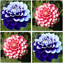 Perennial Flowers Garden Vary Colors Dahlias Seeds Gorgeous flower,Balcony potted plant for home garden 100pcs