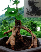30 Seeds Polygonum multiflorum Seeds,Ho Shou Wu/He Shou Wu Herb seeds,fleeceflower vine Chinese herbal medicine seeds(China)