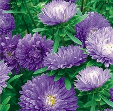 Blue beauty China aster seeds Flowers large Family four seasons to easy management of pot (50 grain)  Bonsai garden