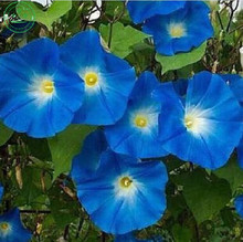 "BULK ANNUAL FLOWER SEEDS - MORNING GLORY FLOWER SEEDS- ""HEAVENLY BLUE"" CLIMBING VINE garden decoration flower 100pcs C18"