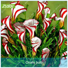 ZLKING 2pcs True Oxalis Flower Bulbs Rare Oxalis Versicolor Candy Cane Sorrel Flower Rotary Grass Pot Home Garden Plant Bonsai