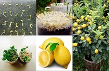 50 pieces/bag Lemon Tree Seeds High survival Rate bonsai Fruit Seeds For Home Gatden Bonsai Lemon Seeds