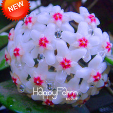 New Fresh Seeds Hoya Seeds,Potted Hoya Carnosa Flower Seed Garden Plants Perennial Planting Orchid Seeds 100 Pieces/Pack,#IRJ4ZT