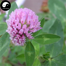 Buy Herba Red Clover Seeds 200pcs Plant Trifolium Pratense For Hong Che Zhou(China)