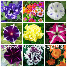 20 Seeds Petunia Kabloom Calibrachoa, mixed bonsai flower seeds, Morning Glory, Pot Plant For Home Garden