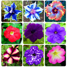 Hot Sale 10 Pcs Picotee Morning Glory Seeds Rare Petunia Seeds Bonsai Flower Seeds Plant For Home Garden Easy To Grow