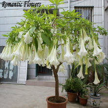 30 Particle/bag White Datura Flower Seeds Dwarf Brugmansia Suaveolens Flamenco Angel'S Trumpets Bonsai Seed For Home Garden