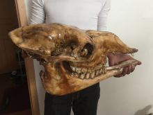 head Arts Crafts Natural camel camel skull specimen pendant Decoration Crafts cow sheep skull really camel head(China)