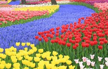 1000 PCS High-grade flower seeds, perfume tulip seed,Bonsai seeds, most beautiful and colorful tulip plants, Only for you