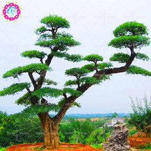 50 pcs/bag Rare Ash tree seeds Ornamental Plant Fraxinus Chinensis Seeds Beautifying Chinese bonsai Seeds Flowering Plant seeds
