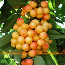 100% True Princess Yellow Cherry Seeds, 5 Seeds/Pack, Bonsai Cherries Fruit Tree For Garden Planting-Land Miracle(China)