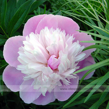 Pink and White Japanese Peony Flower Seeds, 1 Professional Pack, 5 Seeds / Pack, Rare 'Smith Lady' Tree Peony #NF555