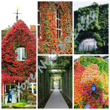 100 pcs/ bag 5 colors Green Boston Ivy Seeds Ivy grass Seed For DIY Home & Garden Outdoor Plants tree Seeds Drop Shipping