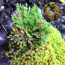 Live Resurrection Plant Rose Of Jericho Dinosaur Plant Air Fern Spike Moss Seed for Home Garden Decor-100Pcs Free Shipping