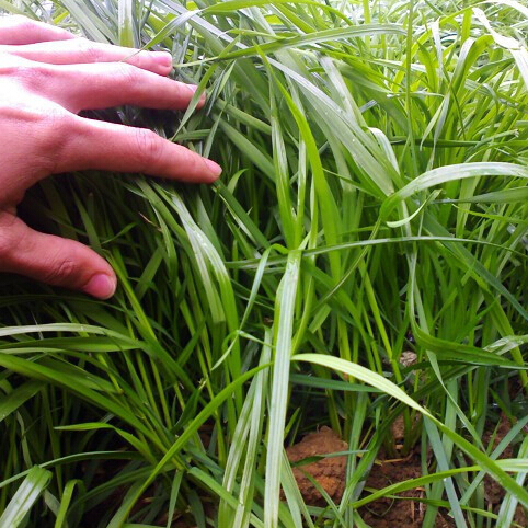 Compra raigr s perenne semilla online al por mayor de - Calibrachoa perenne ...