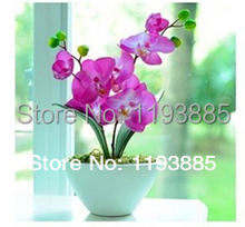 promotion high quality  Multicolored 50 pieces lot butterfly seeds, Phalaenopsis amabilis  sementes for flower pots planters