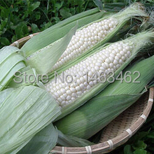 White corn, silver Waxy maize, ornamental corn - 20 particles free Shipping