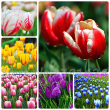hot sale tulip seeds potted indoor plants flowers garden purify the air mixing colors tulip bonsai flower seed 100pcs / padking