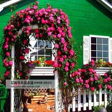 Pink Lady Rose climbing Climbing courtyard 200  flower seeds