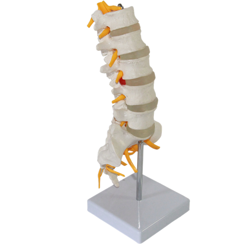 HeyModel Five lumbar sacral model cauda equina nerve model sciatic nerve spine nerve skeletal model lumbar cauda equina type I<br>
