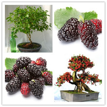 10PCS mulb erry bags Mulberry fruit seeds DIY home bonsai Morus Nigra Tree, black mulberry seeds(China)
